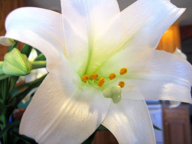 easter-lilies1