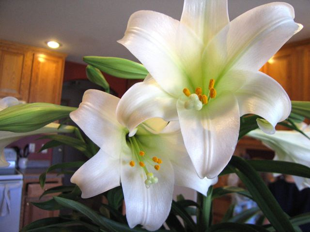easter-lilies2