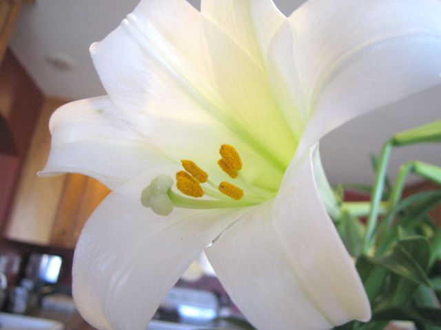 easter-lilies3