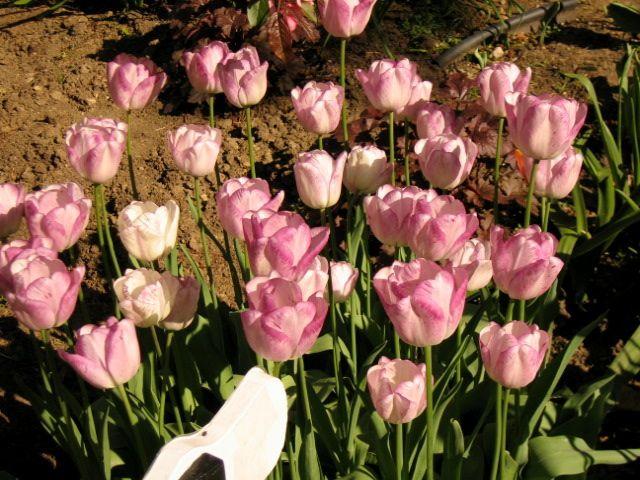 tulip-festival10