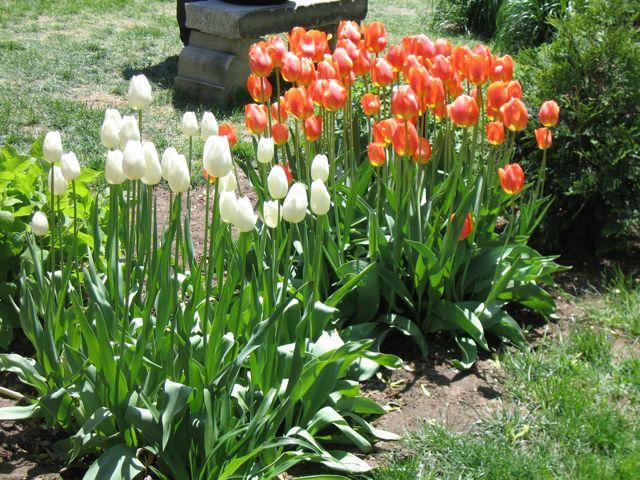 tulip-festival2