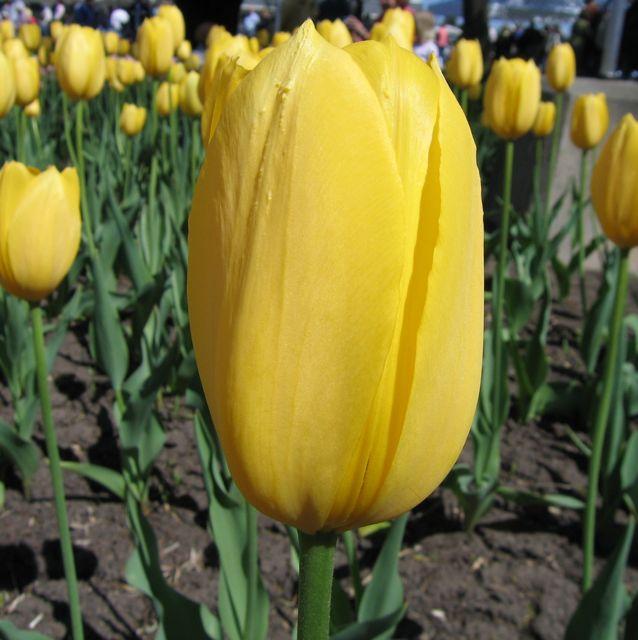 tulip-festival7