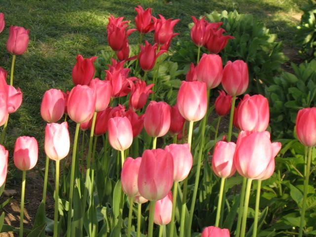 tulip-festival9