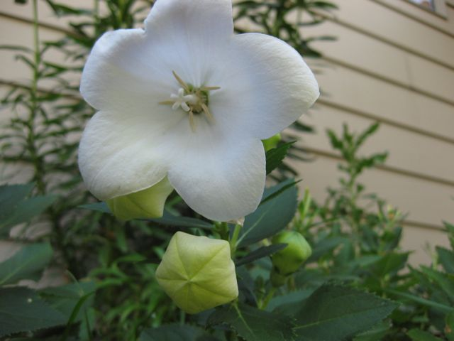 White balloon flower. I also have some blue ones, but it only has buds on it right now.