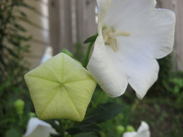This is why they are called 'balloon flowers.'