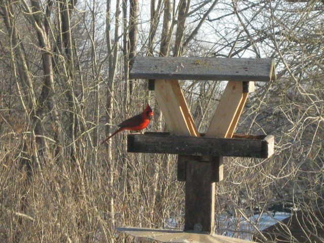 Cardinal in winter plumage.