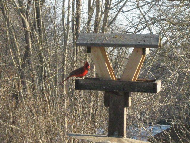 Cardinal in winter plumage.