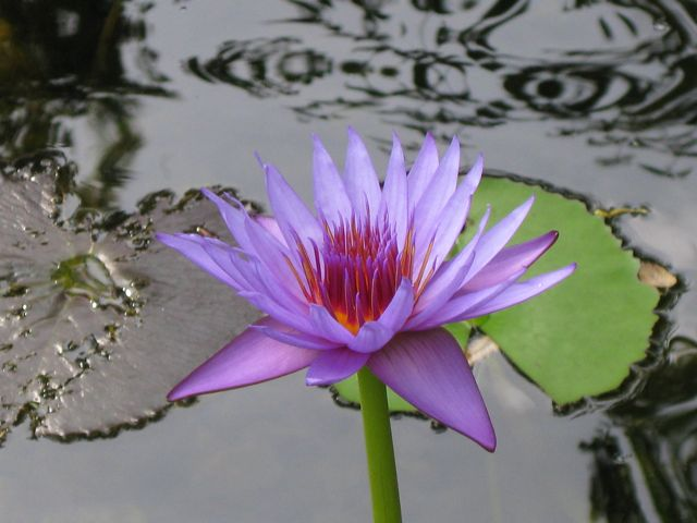 This water lily is my favorite.